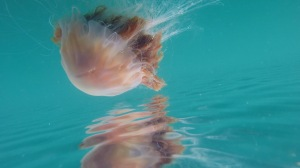 Lion's Mane Jelly Fish